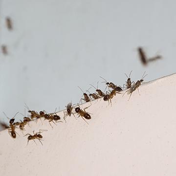 mieren verdelgen
