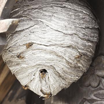 wespennest-verwijderen