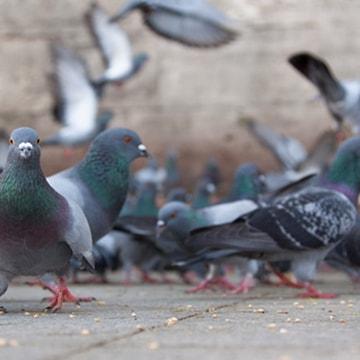 duiven vangen