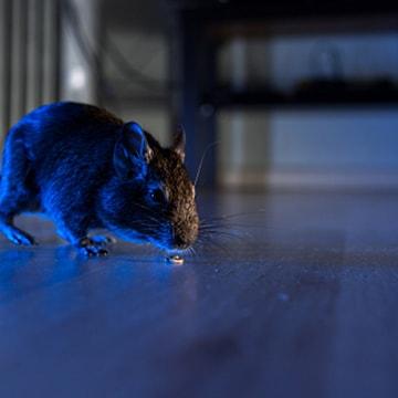 ratten in huis
