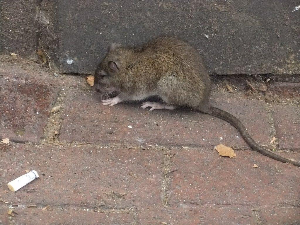 bruine rat op straat in Amsterdam