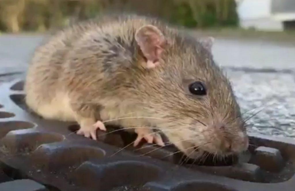Te dikke rat geholpen door hulpdiensten