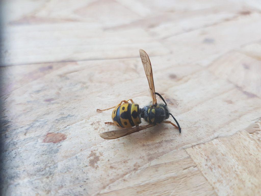 Dode wesp door wespenplaag in huis