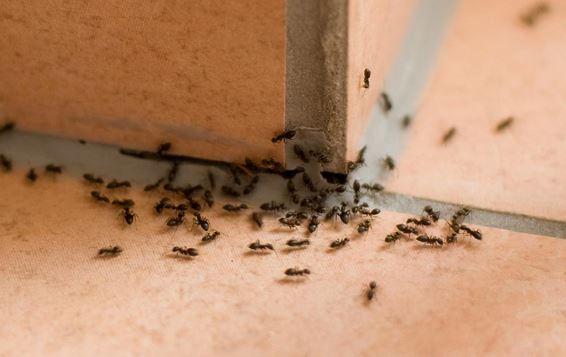 Last van mieren in huis