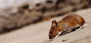 Muizenplaag bestrijden door ongedierte bestrijdingstechnicus